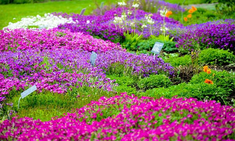 Flori de gradina - care infloresc tot anul, perene, pitice sau cataratoare | MatHaus by Arabesque