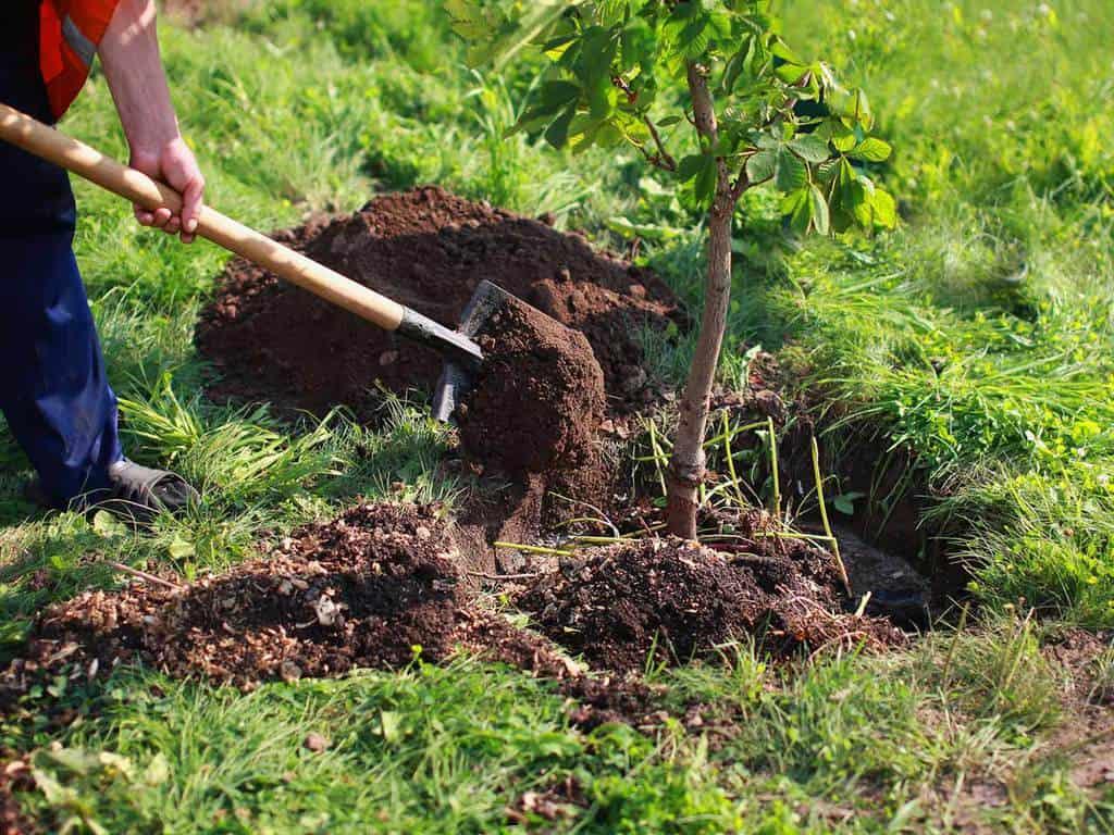 cum plantam pomii