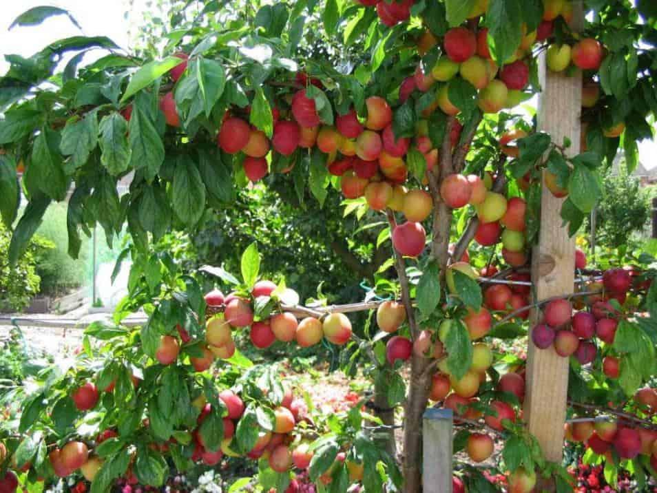 fructe proaspete din gradina
