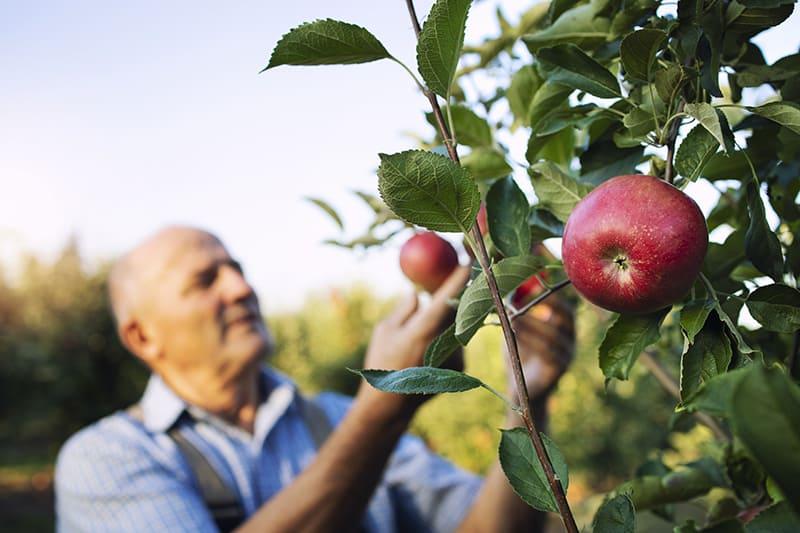 plantare pomi in livada