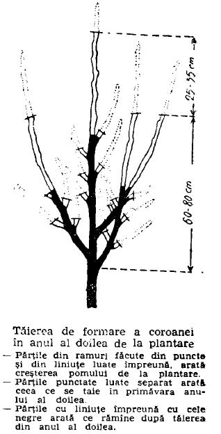 taierea coroanei in anul al 2-lea.png crop