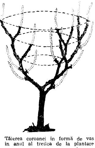 taierea coroanei in forma de vas inanul al 3-lea
