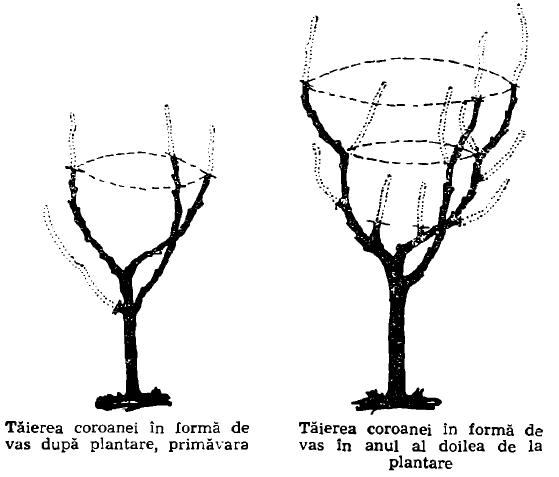 taierea coroanei in forma de vas