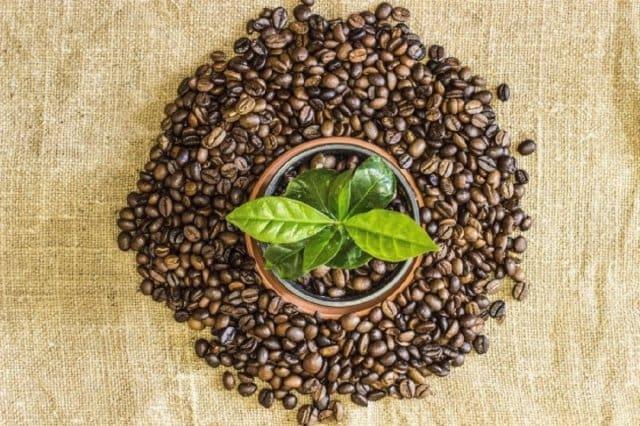 mini livada arbori de cafea