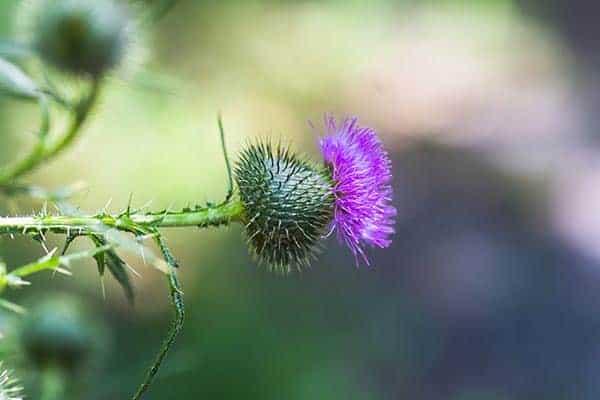 brusture planta medicinala