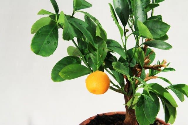Mini livada citrice