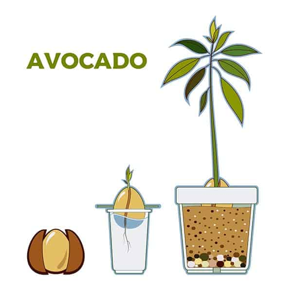 copac de avocado apartament