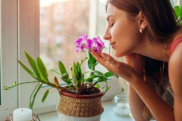 orhidee dendrobium pret