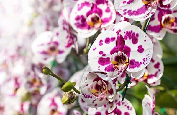 orhidee phalaenopsis