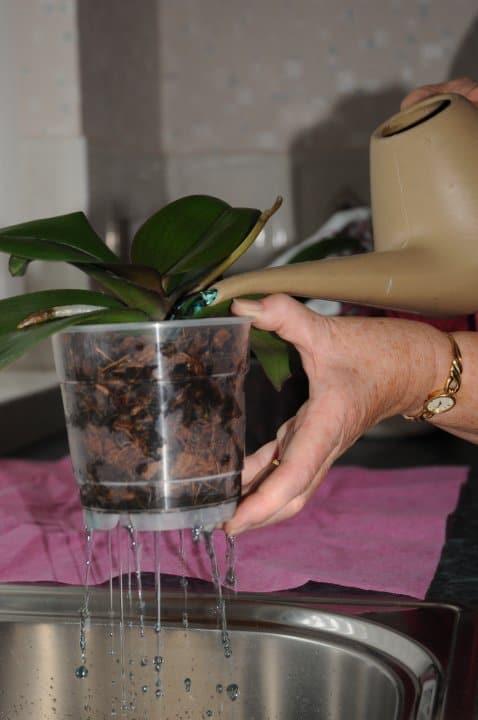 cat de des se uda orhideea