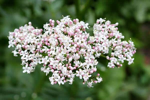 valeriana planta inflorita