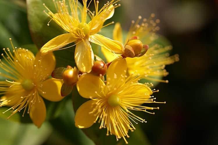 planta sunatoare pojarnita