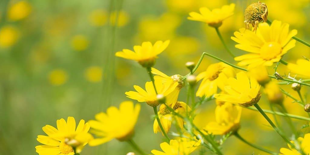 flori de arnica
