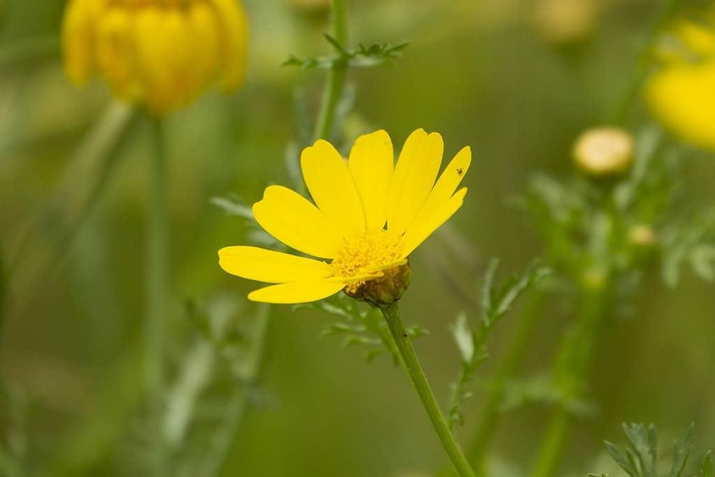 tratament cu flori arnica