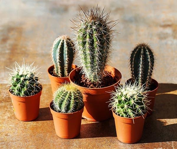 cactus de apartament