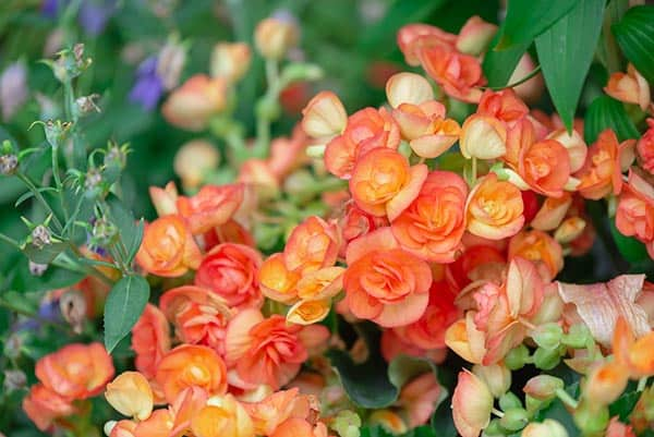 begonie roz