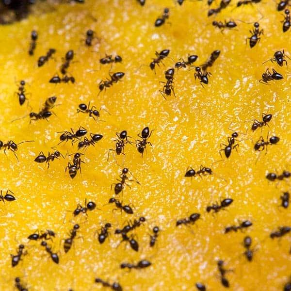 solutie impotriva furnicilor
