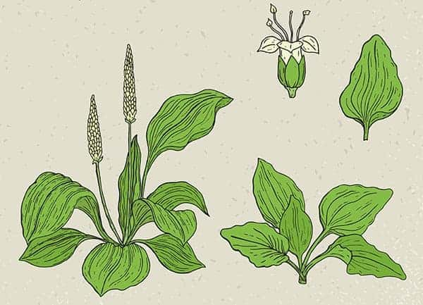 planta medicinala patlagina