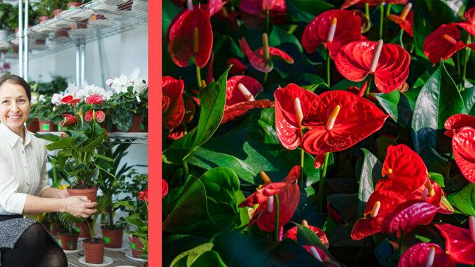 floare anthurium sau floare flamingo