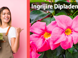 floare dipladenia sau mandevilla casasidesign.ro